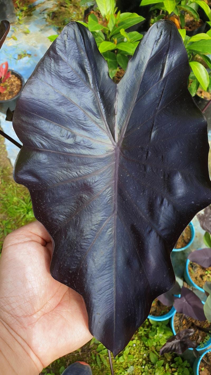 Black Magic Elephant Ears