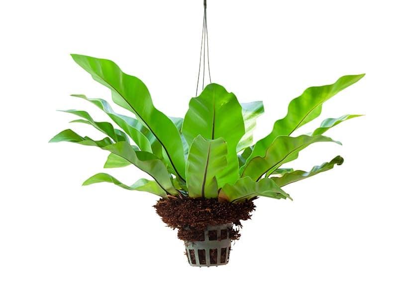 Indoor Hanging Plant: Bird's Nest Fern