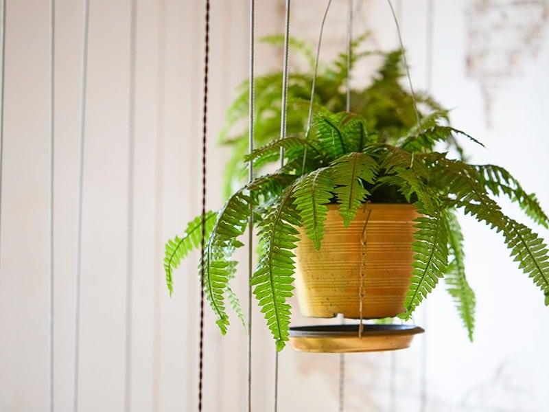 Indoor Hanging Plant: Boston Fern