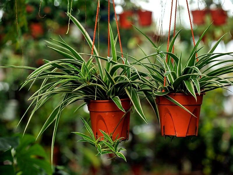 Indoor Hanging Plant: Spider Plants