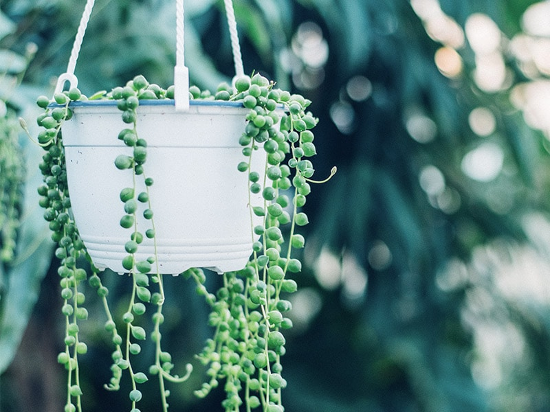 Indoor Hanging Plant: String of Pearls