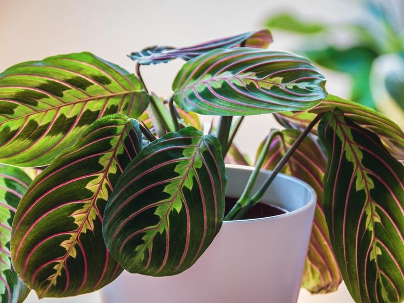 prayer plant care guide